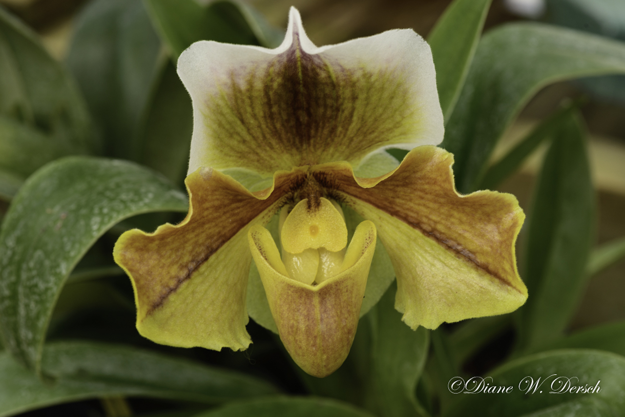 Yellow Orchid in bloom (photo)