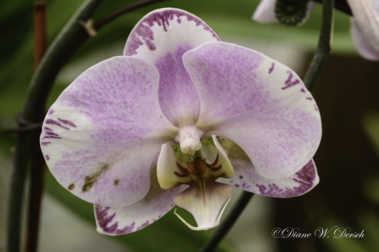 Butterfly Orchid (photo)